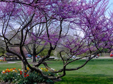 Gorgeous blooming tree at Foster Park