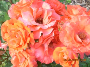 Photo of Orange Roses by Kayleen Reusser