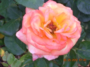 God can create such beauty like this rose from just a seed.