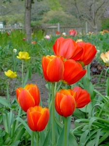 Tulips can remind us of God's promise of renewed lives.